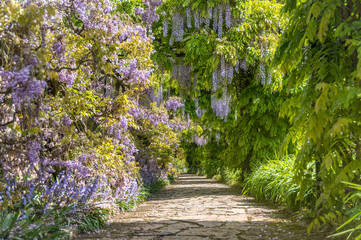 FototapetaPath through wisteria bushes