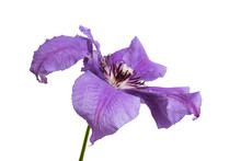 Lilac Clematis Flower Isolated