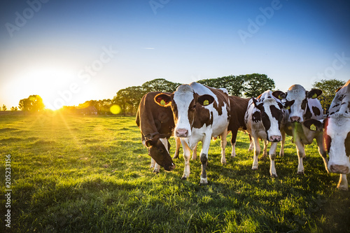 Canvas Prints Cow Cows