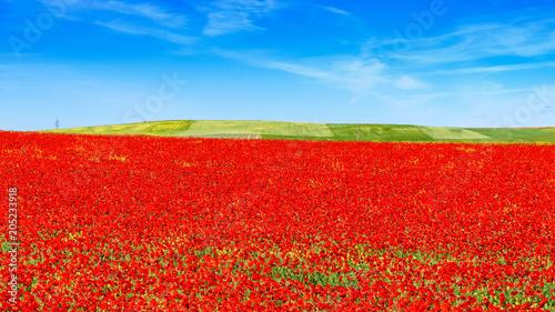 Keuken foto achterwand Rood traf. field of red poppies