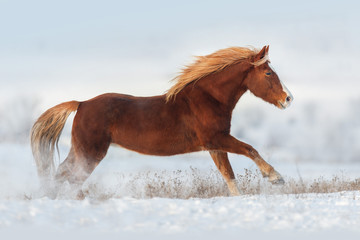 Red horse run gallop in snow