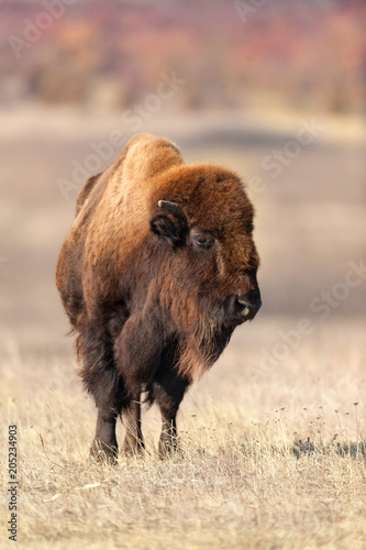 Foto op Canvas Bison American bison on pasture