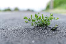 Weed Growing Through Asphalt