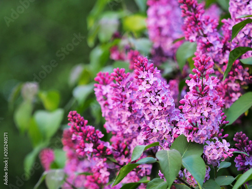 Pink blooming ornamental lilac on green background. Flowers syringa, flowering woody plants in the olive family Oleaceae. Ligustrum