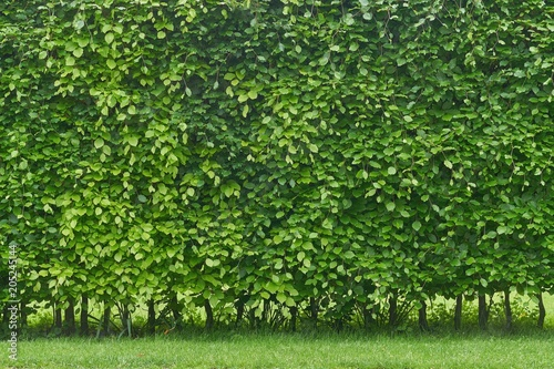 Hornbeam hedge in spring, Carpinus betulus