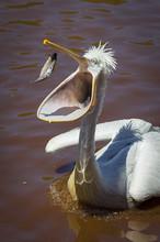 Pelican Catching Fish