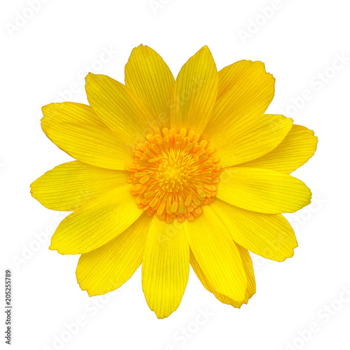 Photo Flower yellow adonis, isolated on a white  background