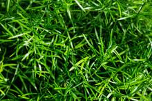 Green Background Of Asparagus Fern's Fresh Green Fine Leaves