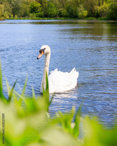 Foto op Canvas Zwaan A White Swan Swimming