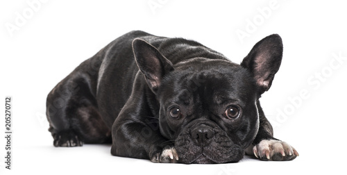 Foto op Plexiglas Franse bulldog French Bulldog , 1.5 years old, lying against white background
