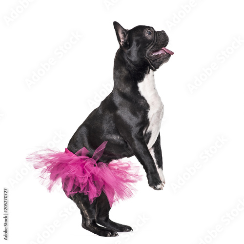 Poster Bouledogue français French Bulldog, 1.5 years old, dancing in tutu standing against white background