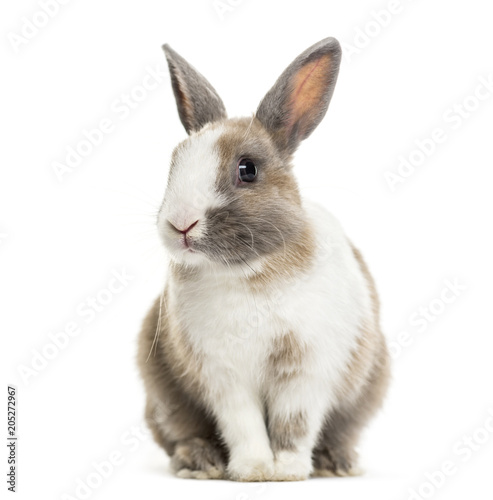 Rabbit , 4 months old, sitting against white background Fotobehang