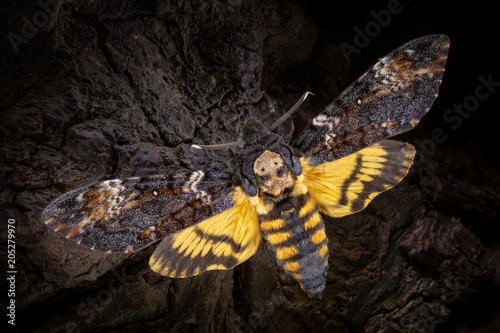 Photo Acherontia atropos on a wooden background