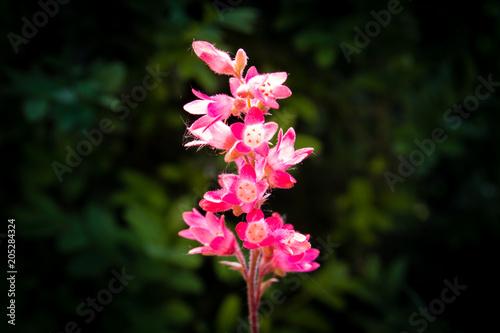 Tuinposter Bloemen Pink flowers of blooming Heuchera. Macro with shallow depth. Close-up of heuchera flower.