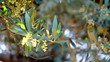 Olive branches in bloom about to leave in spring, movement of soft chamber