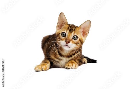 Keuken foto achterwand Kat small Bengal kitten looks