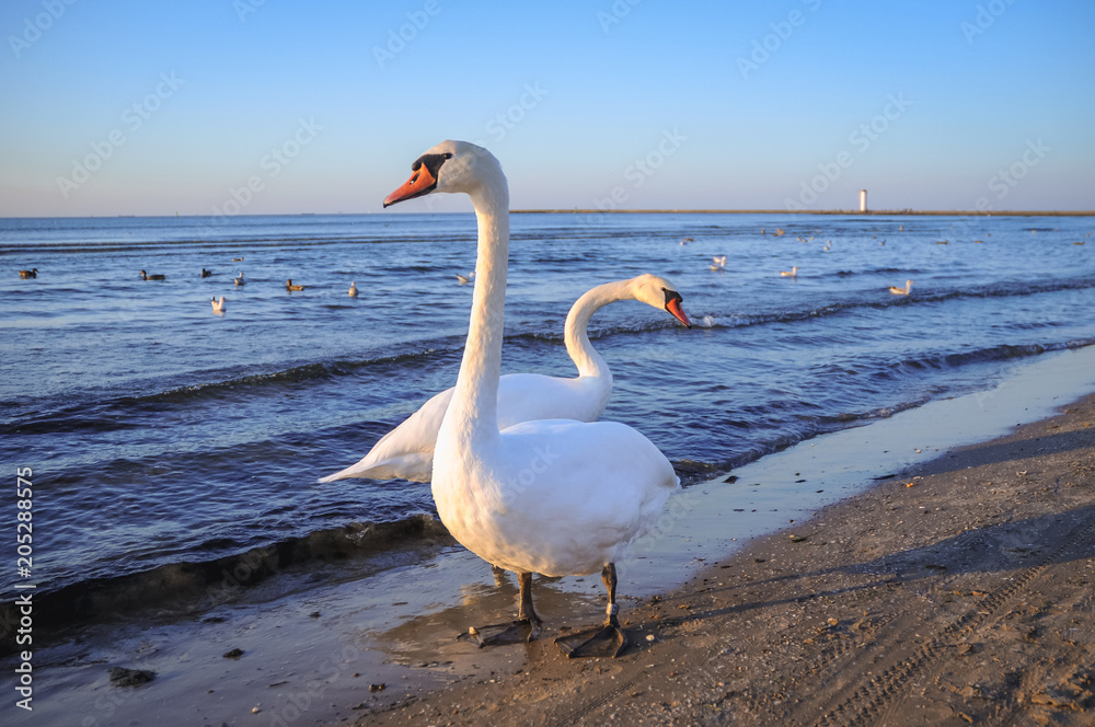Swans on a beach in Swinoujscie town over Baltic Sea in Poland