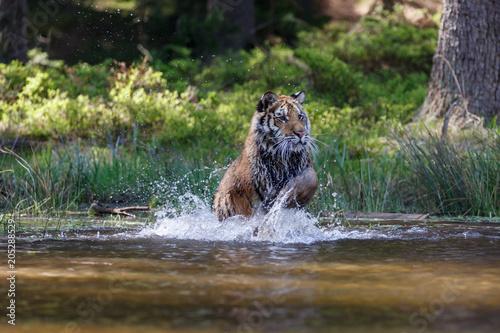 Foto op Aluminium Tijger Tiger im See