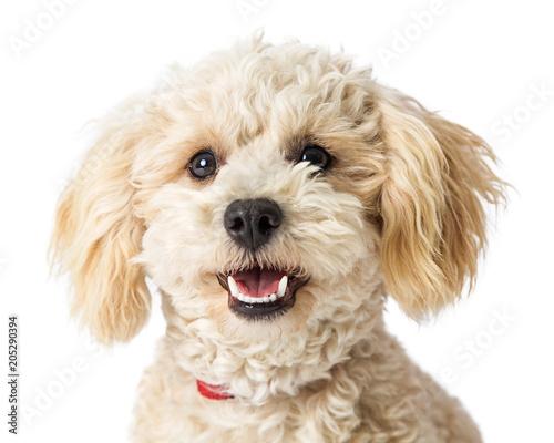 Closeup Happy Poodle Crossbreed Dog Wallpaper Mural