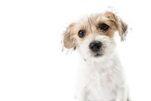 Closeup Scruffy Tan And White Terrier Puppy