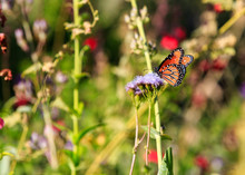 Monarch Butterfly On Spring Wildflowers