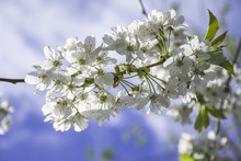 Springtime Blossom, Nature Uk.Twig With White Flowers Against Blue Sky.