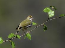 Ovenbird In Spring