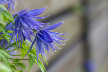 Beautiful Lilac Clematis Flower Flowering Blue Clematis In The Garden.