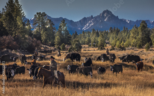 Photo Cowboys on Cattle Drive Gather Angus/Hereford cross cows and calves, San Juan Mo