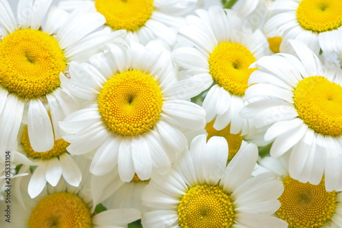 Foto op Canvas Madeliefjes Chamomile close-up. daisy background. camomile field.