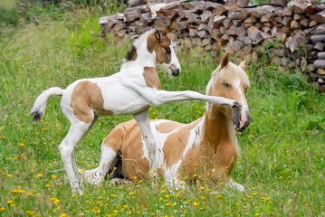 Pony foal kicks its mother with its front hoof, coat color pinto with tobiano patterns