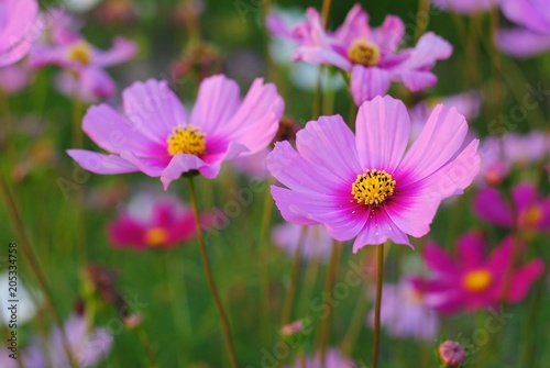 Papiers peints Univers pink cosmos flower blooming in the field