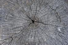 Old Gray Poplar Tree Sawn Stum...