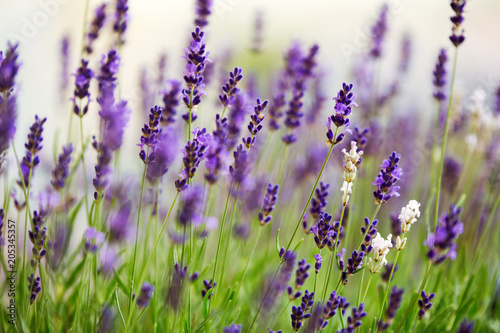 Photo  Lavender flowers in the field at sunset