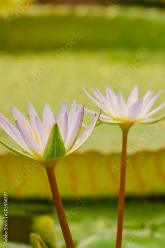 Papiers peints Nénuphars Lily pond in tropical Garden, close up of blooming purple water lily