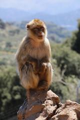 Berberaffe (Macaca sylvanus),