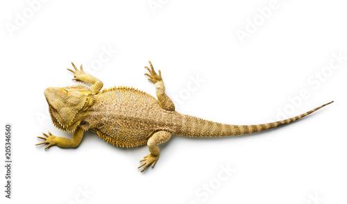 Photo Agama. Bearded dragon isolated on bright. Lizard