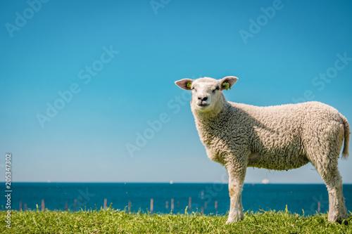 Leinwand Poster Lambs and Sheep on the dutch dike by the lake IJsselmeer,Spring views , Netherla