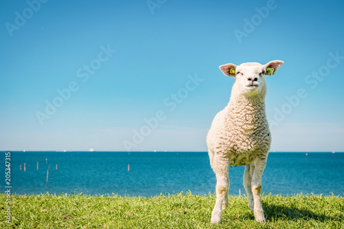Foto op Canvas Schapen Lambs and Sheep on the dutch dike by the lake IJsselmeer,Spring views , Netherlands