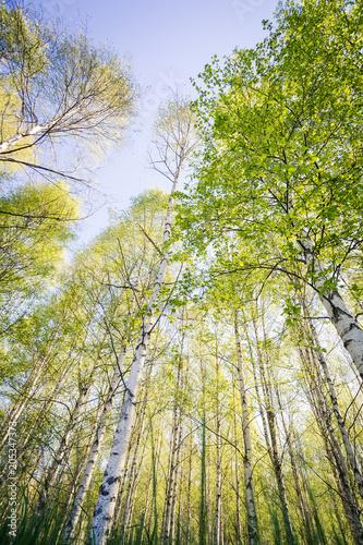 Björkskog, trädkronor med nyutslagna blad sträcker sig upp mot himlen grodperspektiv