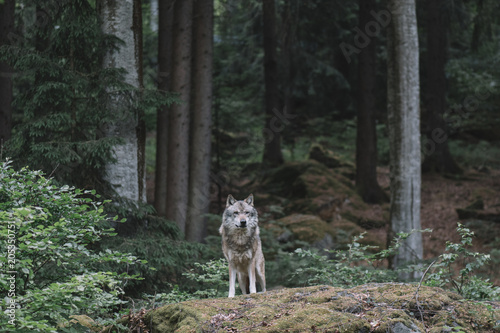 Wolf in forest. Bayerischer wald national park, Germany