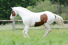 Beautiful Piebald Young Horse ...