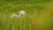 Cute White Parson Russell Terr...