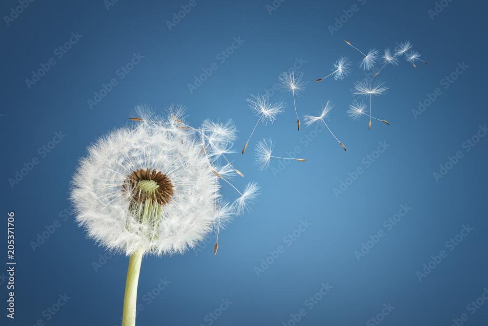 Fotografie, Obraz  Dandelion clock dispersing seed