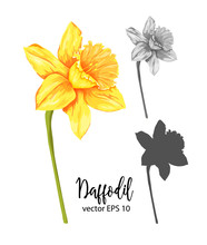 Vector Daffodil, Narcissus Flo...