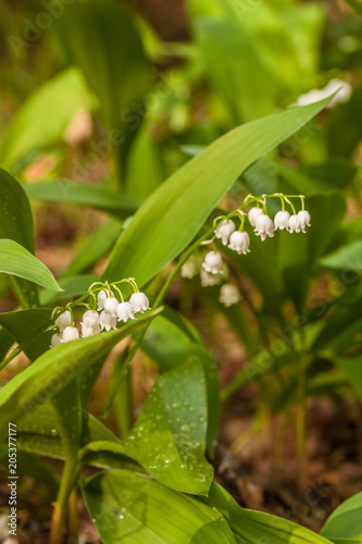 Foto op Canvas Lelietje van dalen Lily of the valley (Convallaria majalis) in flower