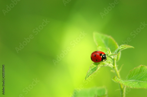Ladybug on green fresh leaf