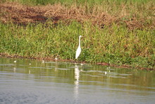 Egret In Alligator River, Yell...