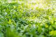Spring grass background.Green meadow grass field .