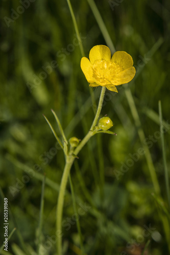 Photo Ranunculus acris - abandoned yellow flower.
